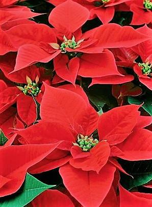 16 e 17 Dicembre a Bologna – Stelle di Natale e regali artigianali per finanziare i progetti nelle scuole nel 2018